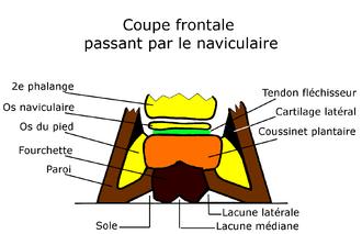 Fourchettes cheval