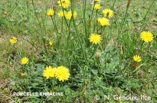 Porcelle enracine plante toxique harper australien